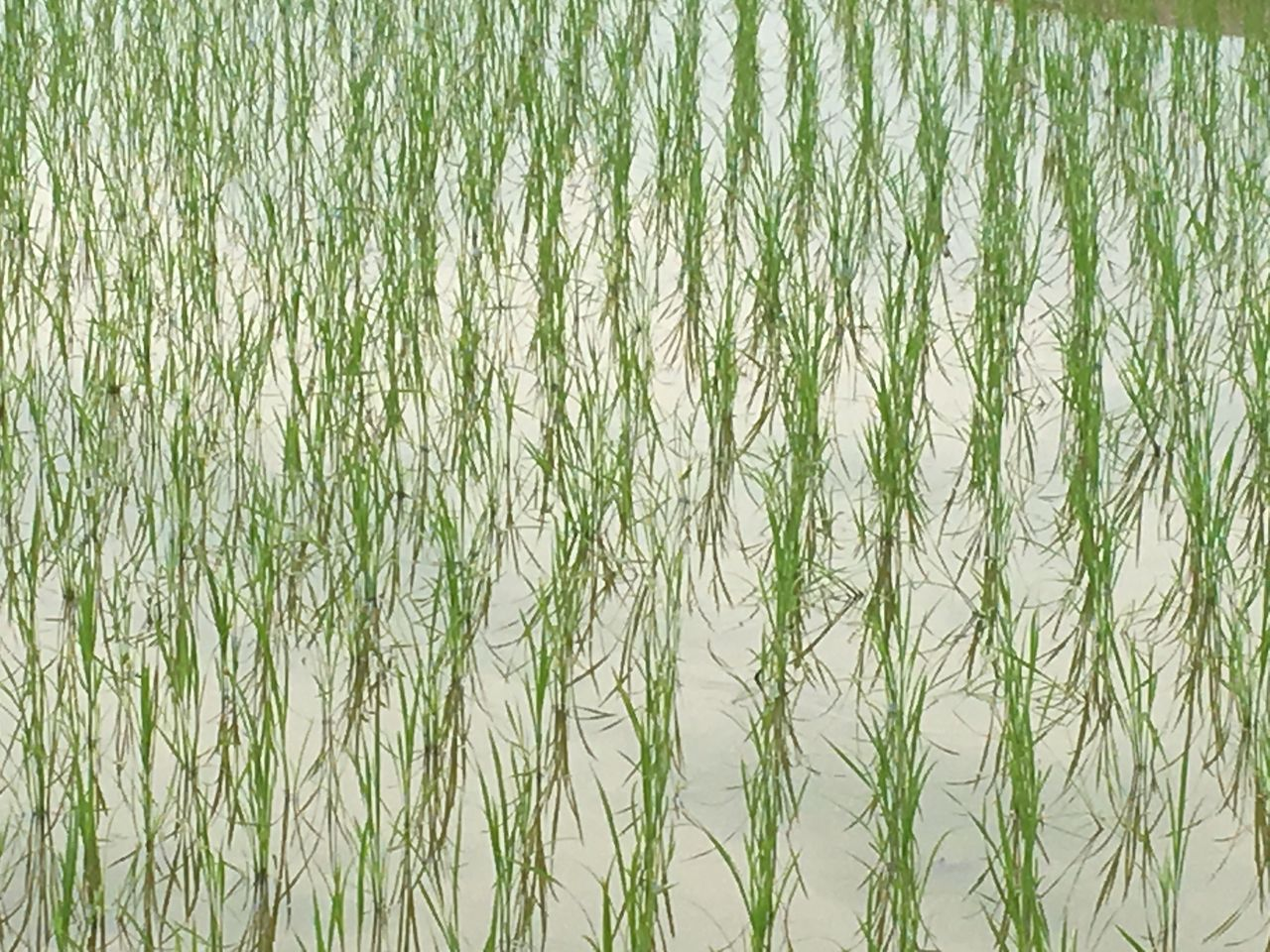 紀州大地の会の有機水稲の田んぼ